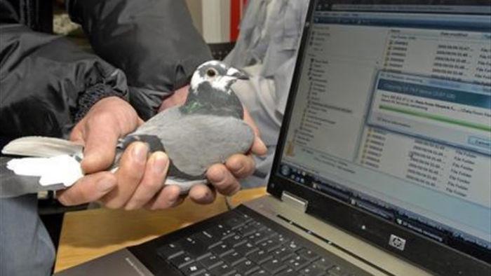Hài hước cuộc đua truyền dữ liệu giữa bồ câu đưa thư và mạng Internet ADSL - 1