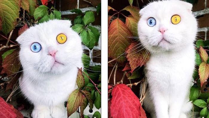 Độc đáo chú mèo có 2 màu mắt một xanh một vàng - 1