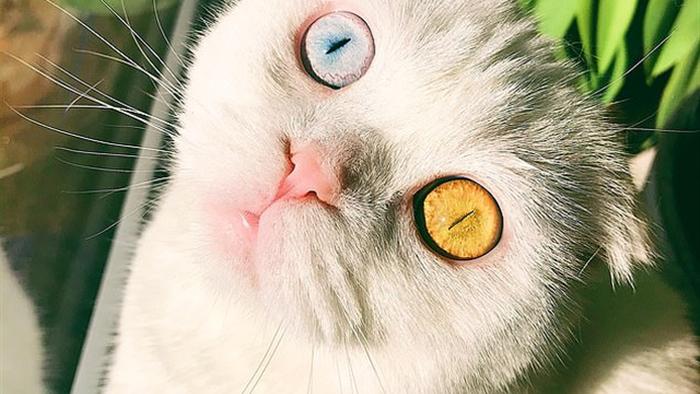 Độc đáo chú mèo có 2 màu mắt một xanh một vàng - 2