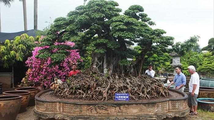 Choáng ngợp cây sanh lá móng cổ thụ giá chục tỷ ở Hà Nội - 1