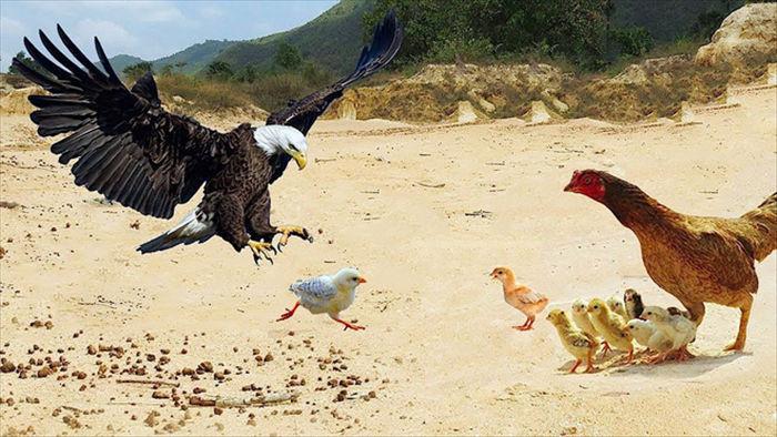 Diều hâu hùng hổ lao vào cướp gà con thì bị gà mẹ đánh cho lên bờ xuống ruộng! - Ảnh 1.