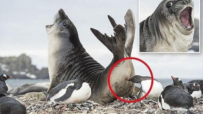 Bức ảnh chú hải cẩu Nam Cực hoảng hốt khi bị chim cánh cụt làm trò