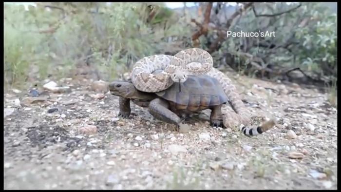 Clip: Kinh ngạc cảnh tượng rắn đuôi chuông chễm chệ trên lưng rùa cạn - Ảnh 2.