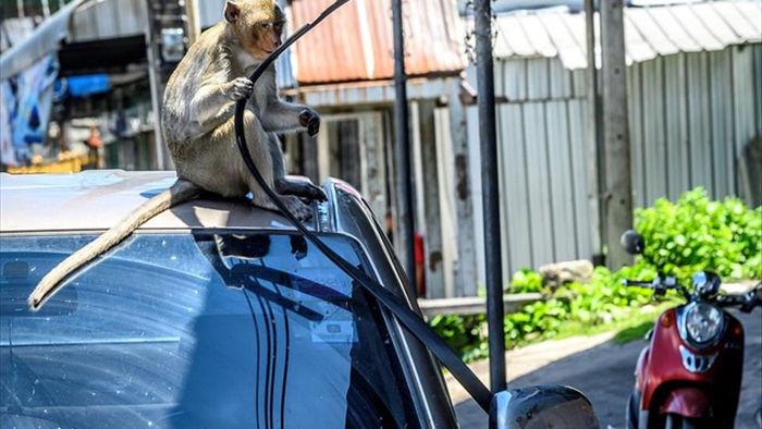 Bầy khỉ cuồng sex đổ xuống đường gây náo loạn - 1