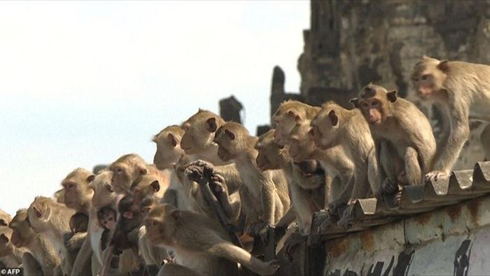 Bầy khỉ cuồng sex đổ xuống đường gây náo loạn - 2