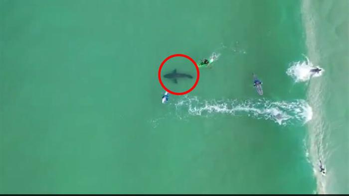 Cá mập trắng khổng lồ theo sát người lướt sóng - 1