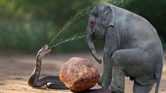 Điều gì xảy ra nếu một con voi đụng độ rắn hổ mang chúa, kẻ nào sẽ thắng? - Ảnh 1.