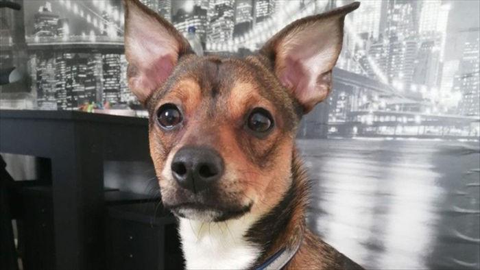 Chó ham ăn nhập viện khẩn cấp vì nuốt chửng... cây gậy dài 25 cm - 1