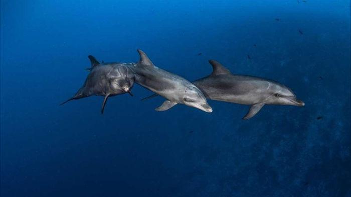 Cá heo biết học cách sử dụng các công cụ từ bạn bè giống như loài vượn lớn - 1