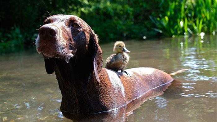 Nhặt được quả trứng dọc đường, chú chó khiến dân mạng tan chảy khi thành mẹ của vịt con - Ảnh 1.