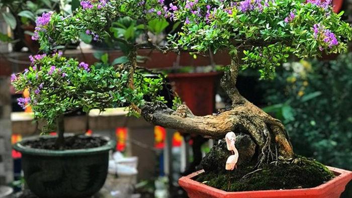 Vườn bonsai ngược trăm triệu đồng trên sân thượng nhà phố ở Quảng Nam - 13
