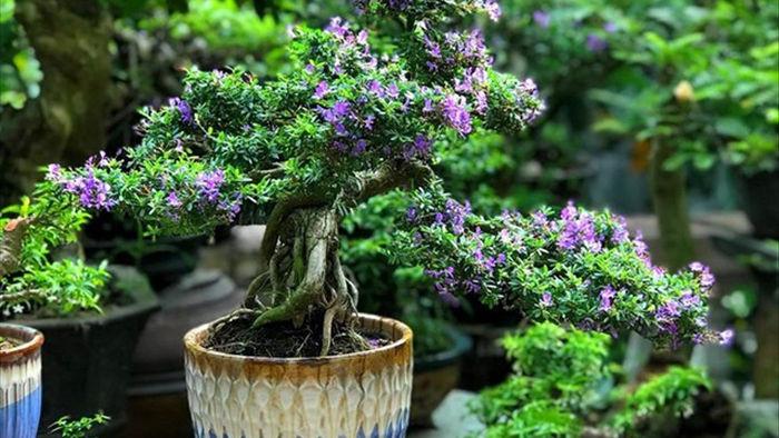 Vườn bonsai ngược trăm triệu đồng trên sân thượng nhà phố ở Quảng Nam - 12