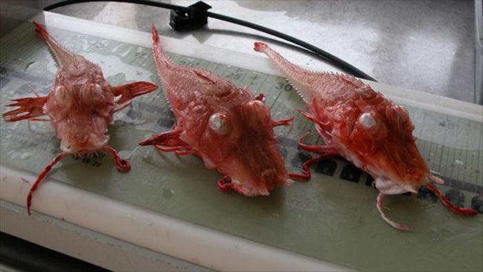 Cận cảnh hình thù kỳ dị của sinh vật dưới biển sâu (P2) - Ảnh 4.