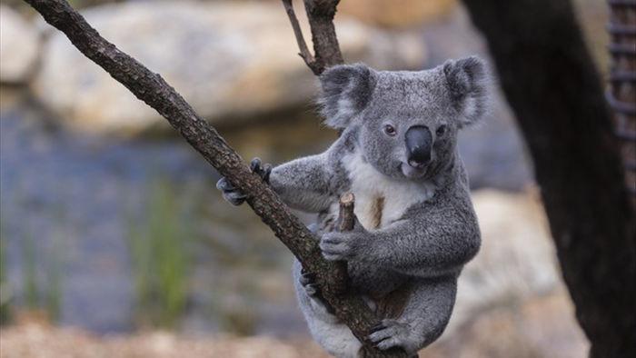 Gấu túi ở New South Wales có thể tuyệt chủng vào năm 2050 - 1