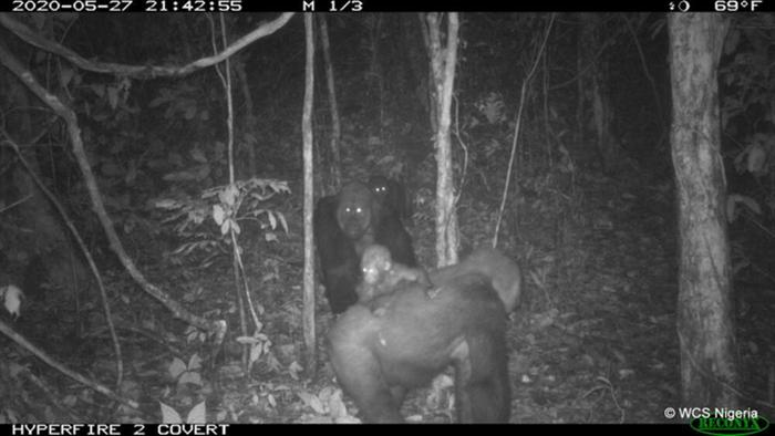 Hình ảnh loài khỉ đột hiếm có nhất thế giới địu con trên lưng - 2