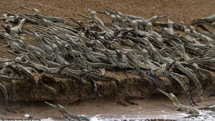 """Ngộ nghĩnh hàng trăm con cá sấu con """"xếp hàng vượt sông - 2"""