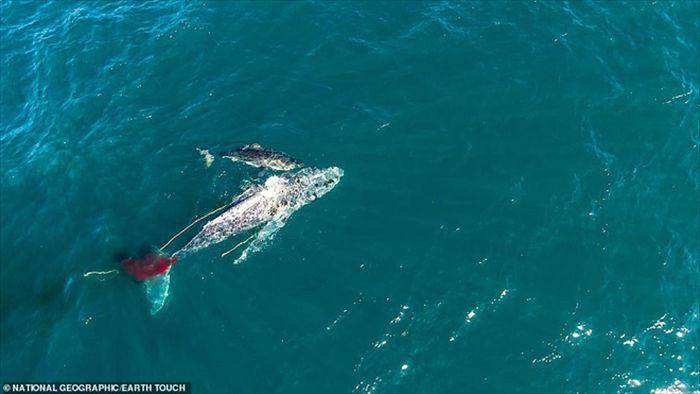 Lần đầu tiên trong lịch sử ghi lại cảnh cá mập trắng khổng lồ hạ gục cá voi - Ảnh 1.