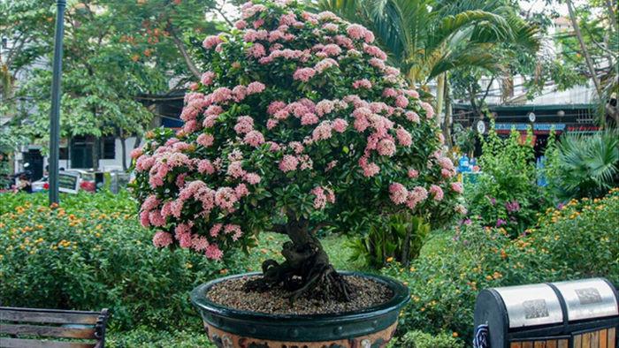 Mãn nhãn với cây hoa trang đột biến sắc hồng giá gần nửa tỷ - 1