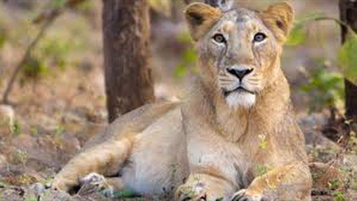 Sư tử cái gầm gào, tát liên tiếp vào mặt con đực - 2