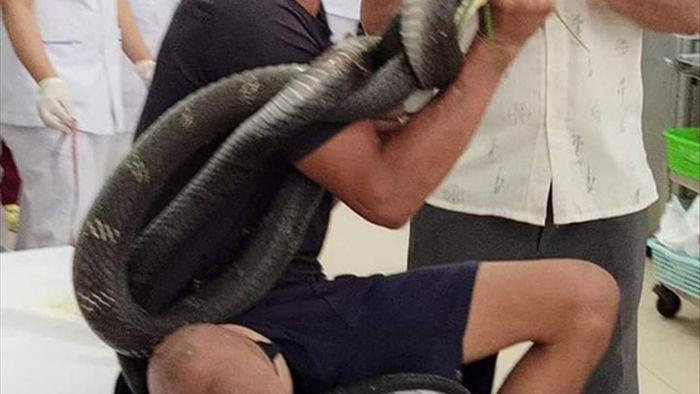 Người đàn ông đi cấp cứu với rắn hổ mang chúa quấn quanh tay