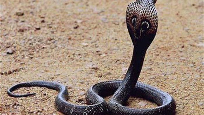 Rắn hổ mang chúa – loài rắn độc dài nhất thế giới - 1