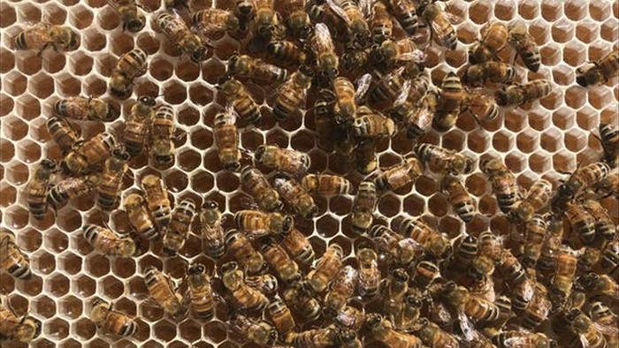 Ong làm mật như thế nào? - 1
