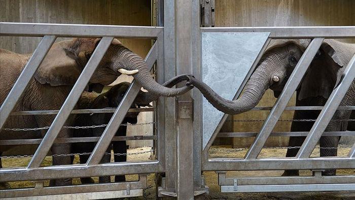 Cảm động khoảnh khắc mẹ con voi vẫn nhận ra nhau sau 12 năm xa cách - 1