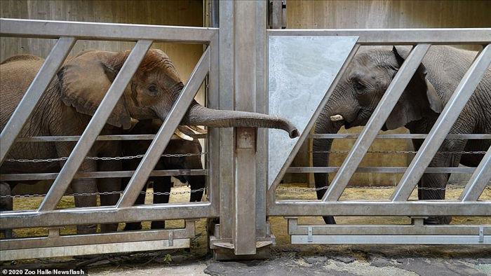 Cảm động khoảnh khắc mẹ con voi vẫn nhận ra nhau sau 12 năm xa cách - 2