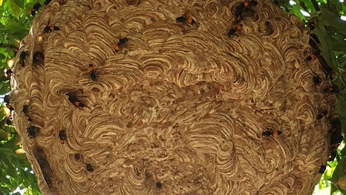 Cận cảnh tổ ong vò vẽ siêu lớn ai hỏi cũng không bán - 1