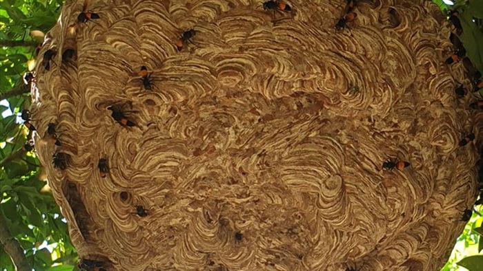 Cận cảnh tổ ong vò vẽ siêu lớn ai hỏi cũng không bán - 2