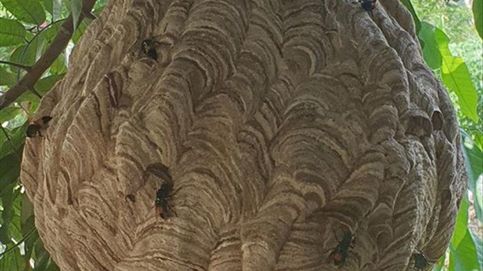 Cận cảnh tổ ong vò vẽ siêu lớn ai hỏi cũng không bán - 3