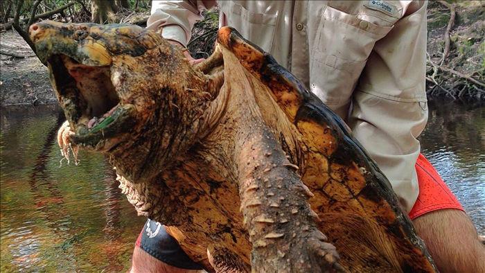 """Bắt được loài rùa có bề ngoài kì dị như """"khủng long thời tiền sử"""" - 1"""