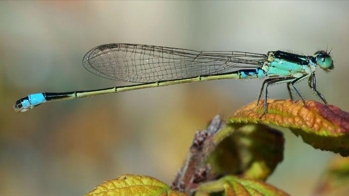 Chuồn chuồn cái giả chết để tránh bị con đực quấy nhiễu đòi giao phối - 1