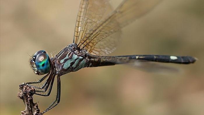 Chuồn chuồn cái giả chết để tránh bị con đực quấy nhiễu đòi giao phối - 3