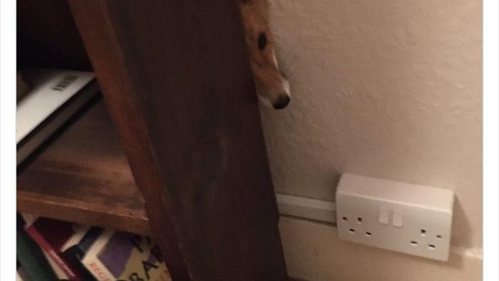 Những khoảnh khắc phát hiện cáo hoang trong nhà với các tư thế chẳng giống ai - Ảnh 3.