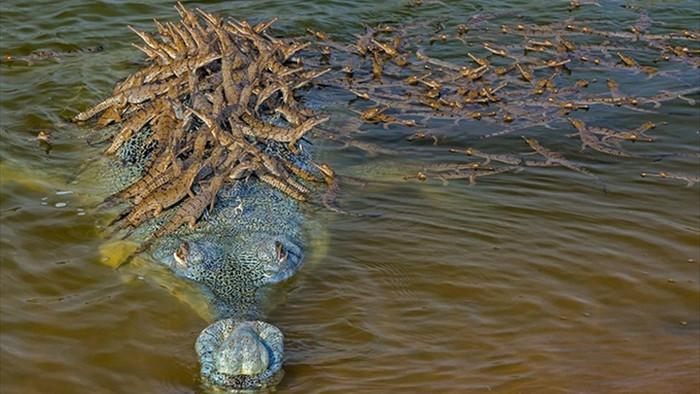Đàn cá sấu con bám chi chít trên lưng bố cùng vượt sông - 1