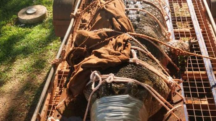 Úc: Bắt được cá sấu khổng lồ, dài 4,3m trong khu du lịch - Ảnh 1.