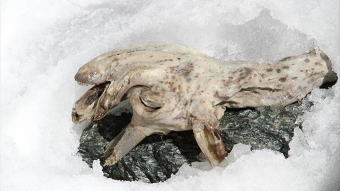 Tìm thấy xác ướp sơn dương đóng băng cực hiếm trên dãy Alps - 1