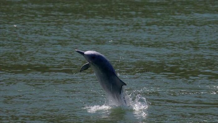 Cá heo quý hiếm bất ngờ trở lại vùng biển sau đại dịch - 1