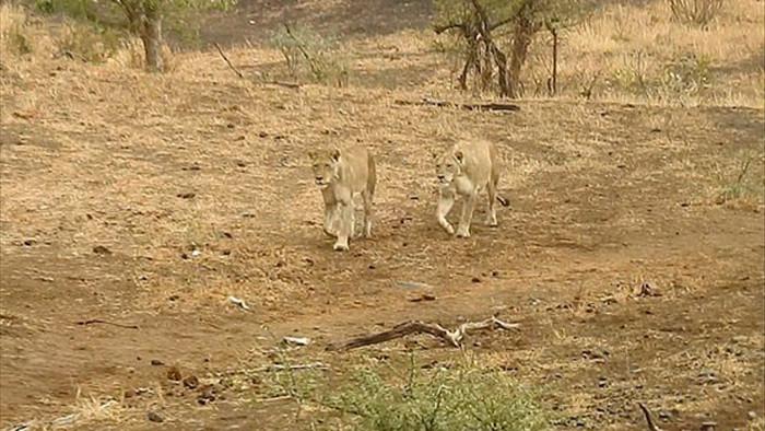 Bầy linh cẩu trả giá đắt vì cả gan tấn công sư tử - Ảnh 3.