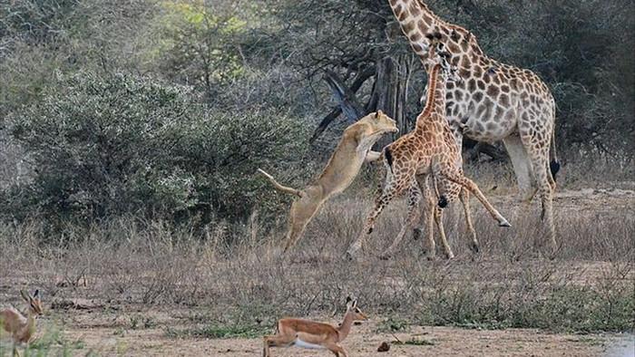 Sư tử tung người lên không trung đoạt mạng hươu cao cổ con - Ảnh 2.