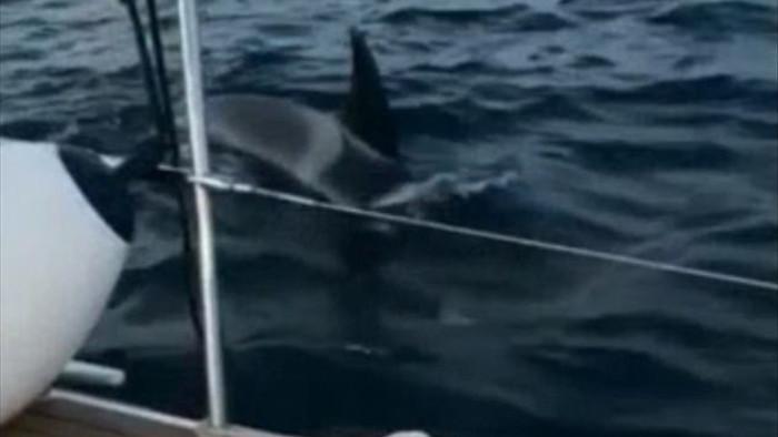 Cá voi sát thủ tấn công thuyền của khách du lịch - 1