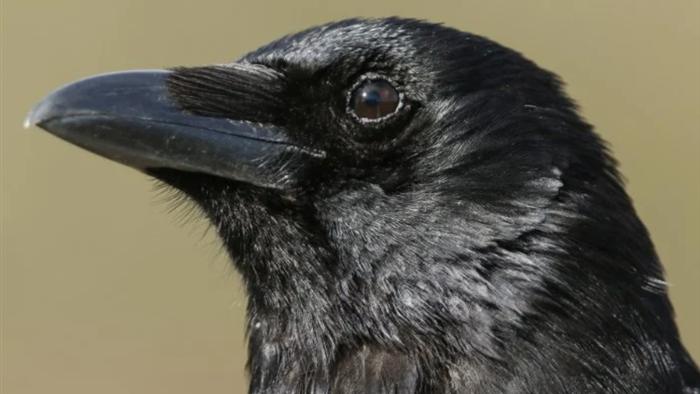 Loài quạ có khả năng suy nghĩ có ý thức - 1