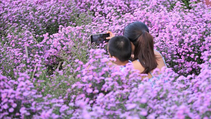 """Náo nức """"check in"""" vườn hoa thạch thảo tím """"lịm tim"""" ở Đà Nẵng - 7"""