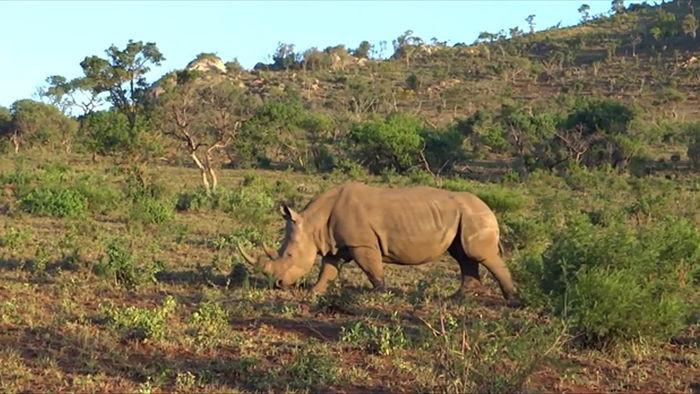 Clip: Tê giác mẹ liều mình bảo vệ con khỏi sự tấn công của sư tử - Ảnh 2.