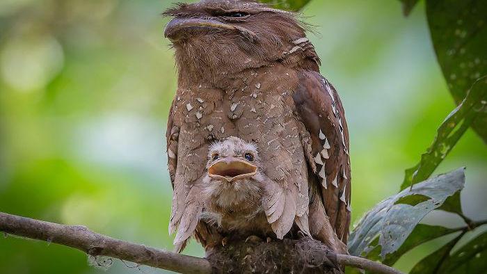 Frogmouth: Loài cú muỗi đáng yêu siêu nhiều biểu cảm - Ảnh 12.