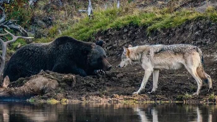 Cuộc đụng độ ấn tượng của gấu xám và sói - 1