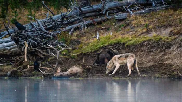 Cuộc đụng độ ấn tượng của gấu xám và sói - 4
