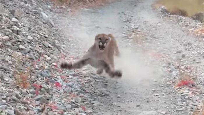Video hú ví báo sư tử rình rập, chực nhảy xổ vào người đi đường - 1