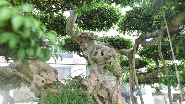 Cây sanh cổ trăm tuổi đắt giá ngang căn chung cư cao cấp ở Hà Nội - 8